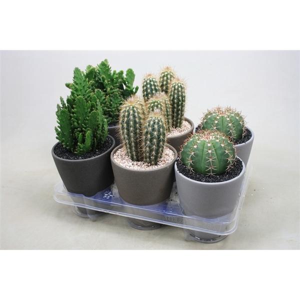 <h4>Cactus gemengd Cactus in ronde pot bruin/grijs/dgr</h4>