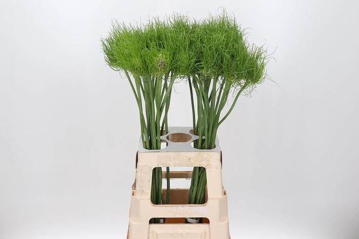 <h4>Allium 'Catweazle'</h4>