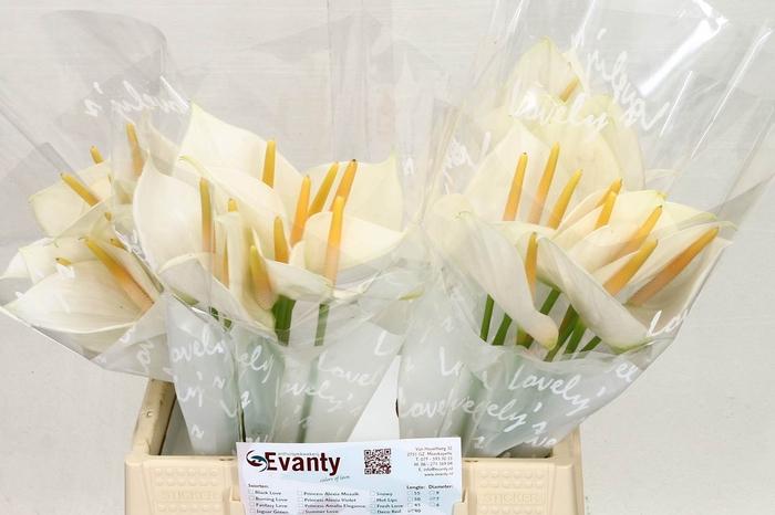 <h4>Anthurium Aqua White Love</h4>