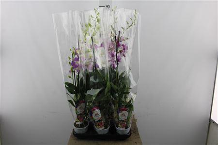 <h4>Dendrobium Sa-nook Mixed</h4>