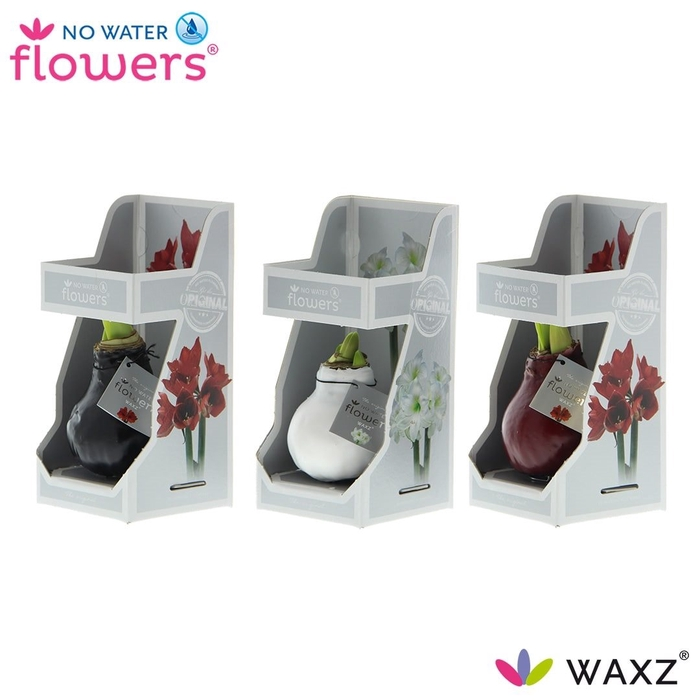 <h4>arr.. Amaryllis VH - Colorz in Gift box</h4>