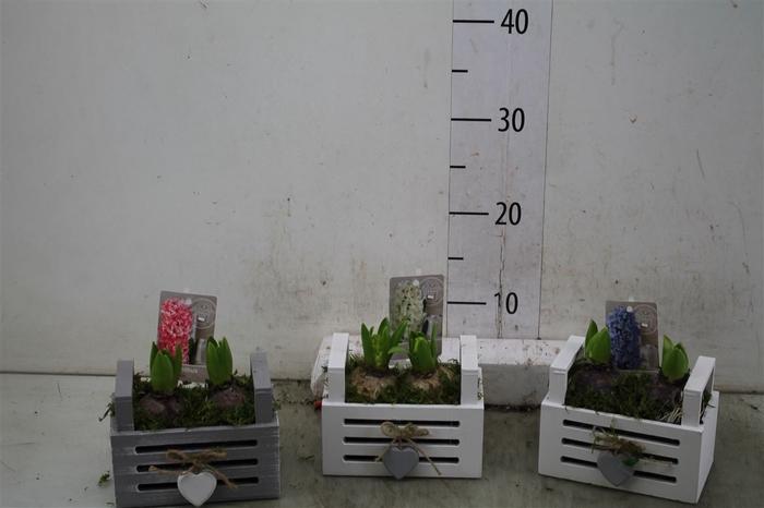 <h4>Hyacinth Mix 2906 Louisiana 2pp Mos</h4>