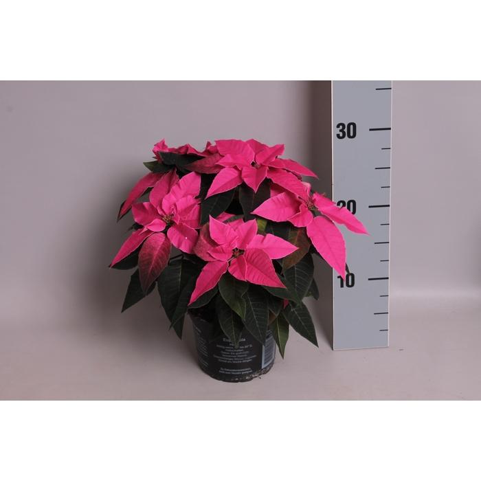 <h4>Poinsettia 13 cm Princettia Dark Pink</h4>