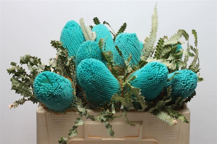 <h4>Banksia Prionotis Turqoise</h4>