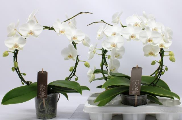 <h4>Phalaenopsis White 12Ø 45cm 2stem 16Flow</h4>