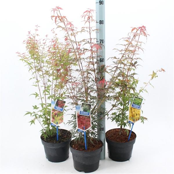 <h4>Acer palmatum mix (minimum order one layer)</h4>
