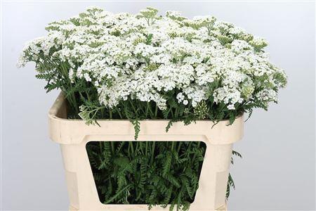 Achillea White Pure Beauty