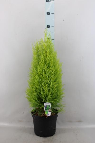 <h4>Cupressus macro. 'Goldcrest Wilma'</h4>