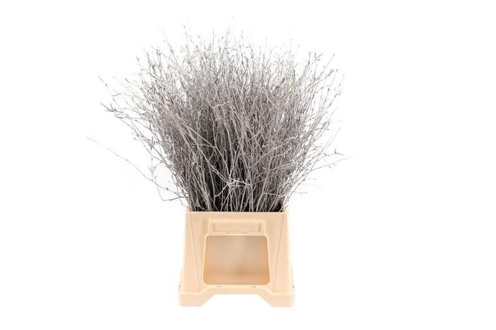 <h4>Berk ( Birch ) Silver</h4>