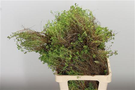 <h4>Dec Euphorbia Spinoza</h4>
