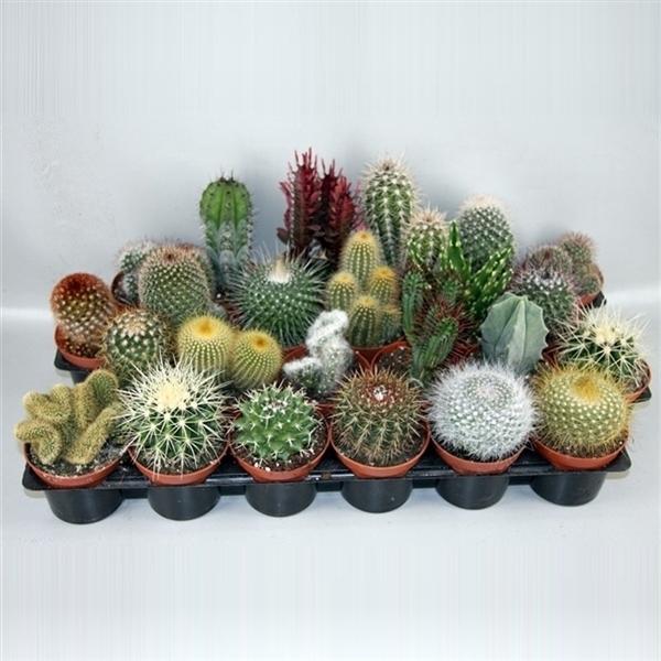 <h4>art.102 Cactus gemengd 8,5 cm</h4>