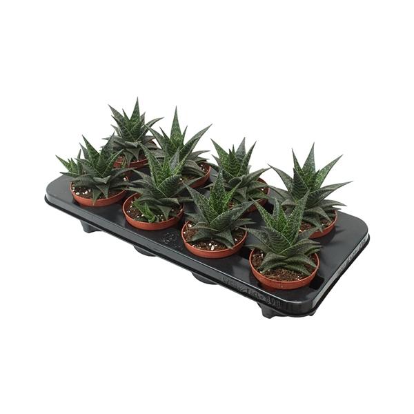 <h4>Aloe hodi</h4>