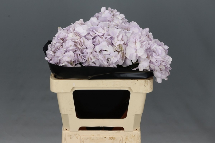 <h4>Hydrangea Lavender Select</h4>