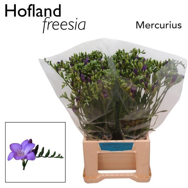 <h4>FR EN MERCURIUS</h4>