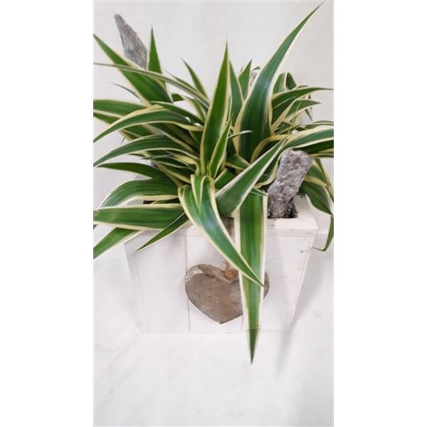 <h4>726 Chlorophytum in steigerhout kubus</h4>