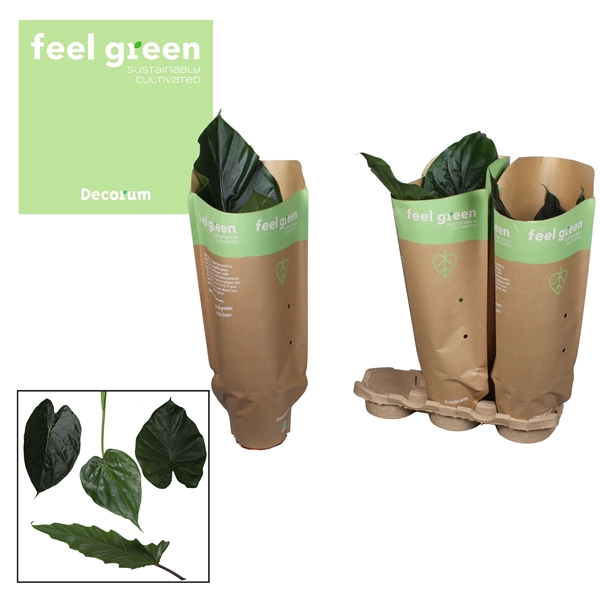 <h4>Alocasia gemengd Feel Green</h4>