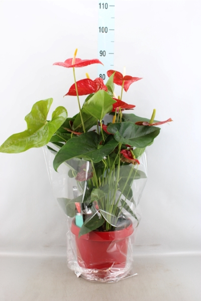 <h4>Anthurium andr. 'Dakota'</h4>