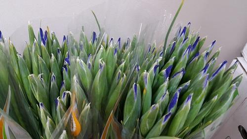 <h4>Iris Blue</h4>