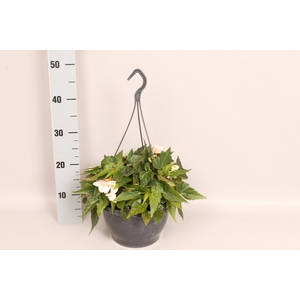 Hangpot 23 cm Begonia Marshmallow
