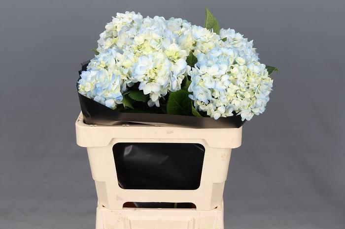 <h4>Hydrangea Blue Select</h4>
