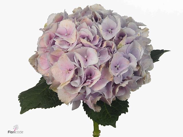 Hydrangea Force Pink