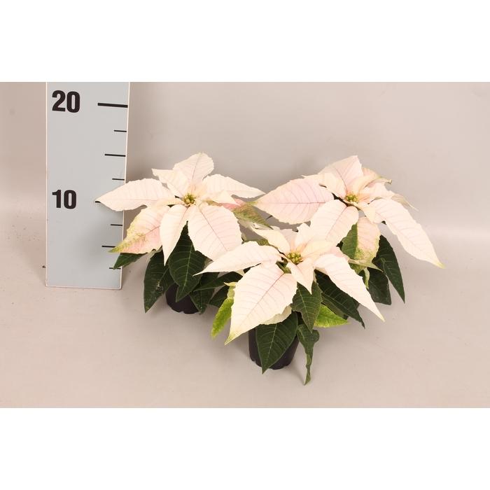 <h4>Poinsettia 6 cm Princettia Pearl White 1 kopper</h4>
