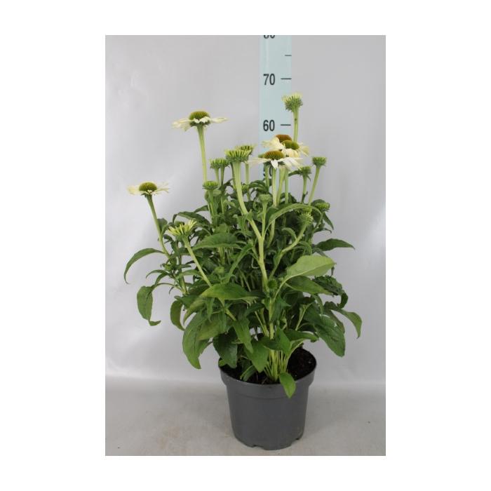 <h4>Echinacea purp. 'Leuchtstern'</h4>