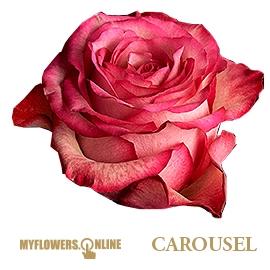 <h4>R Gr Carousel Bicolor 50cm EC</h4>