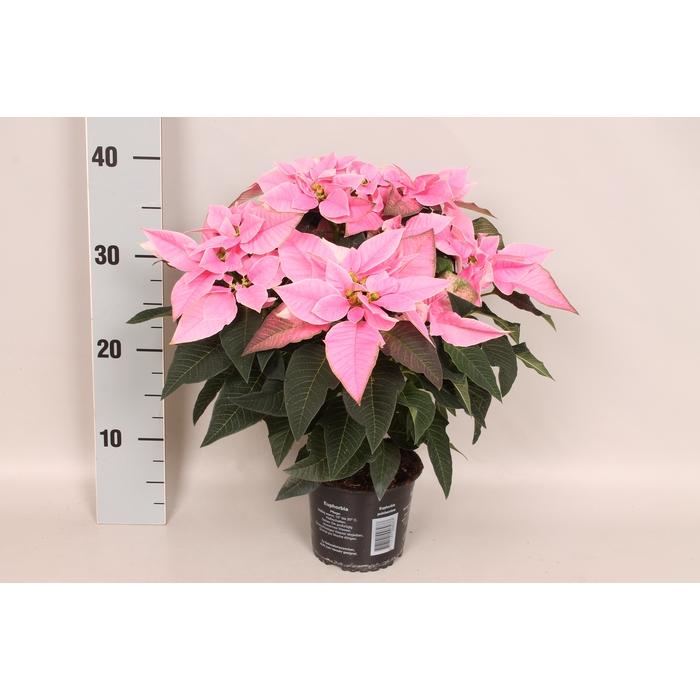 <h4>Poinsettia 13 cm Princettia Pink</h4>