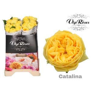 R GR CATALINA x 20