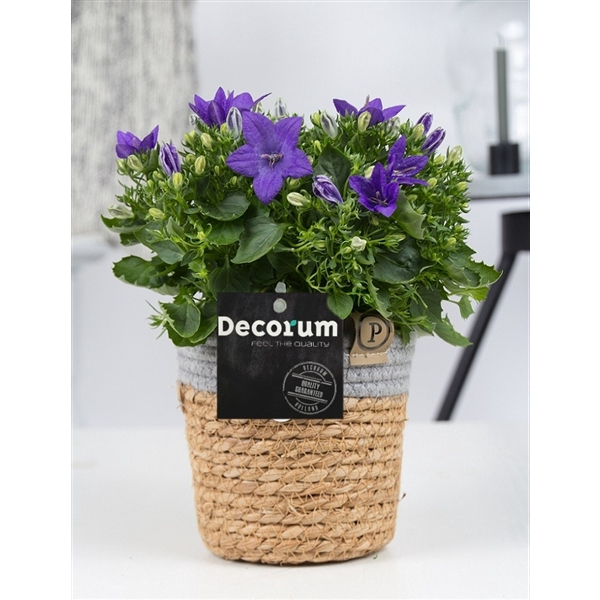 <h4>Campanula 'Napoli' Decorum S. Basket</h4>