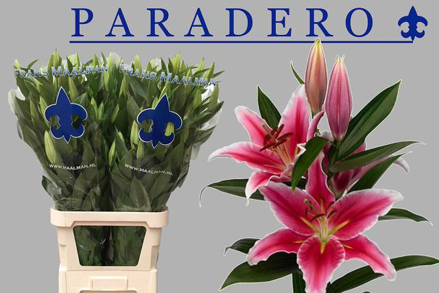 <h4>LI OR PARADERO</h4>