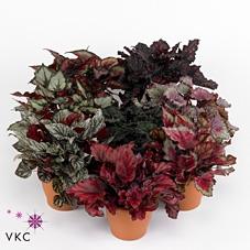 Begonia Magic Colors 13Ø 25cm