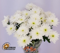 <h4>Chrysanthemum spray Bonita White</h4>