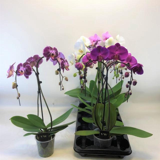 <h4>Phalaenopsis mix 12Ø 55cm 2 pędy 16+ kwiatów</h4>