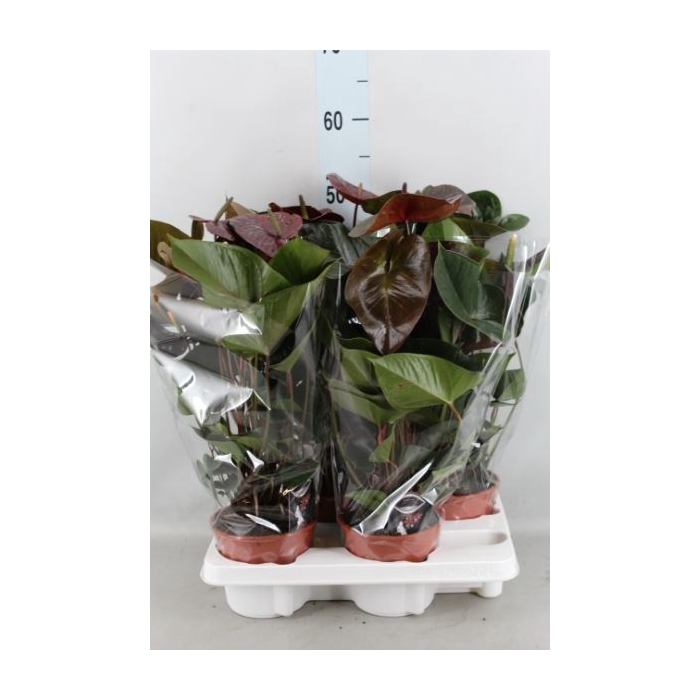 <h4>Anthurium andr. 'Giant Chocolate'</h4>