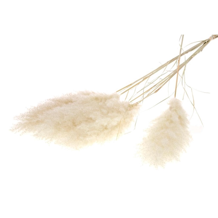 <h4>DRIED FLOWERS - CORTADERIA NATURAL 115CM 5PC</h4>