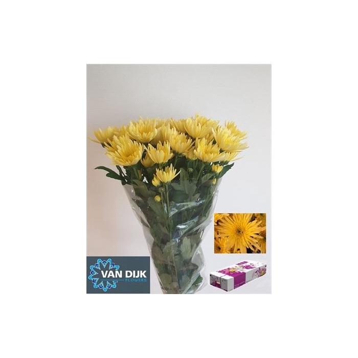 <h4>Chr T Delian Yellow</h4>