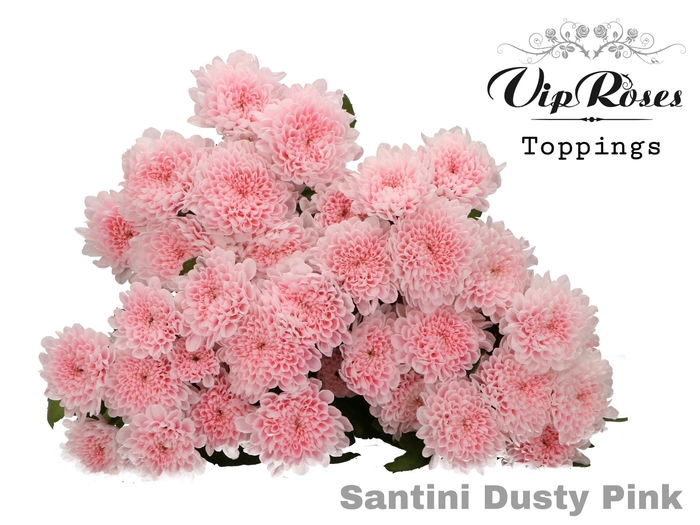 <h4>CHR S DUSTY PINK</h4>
