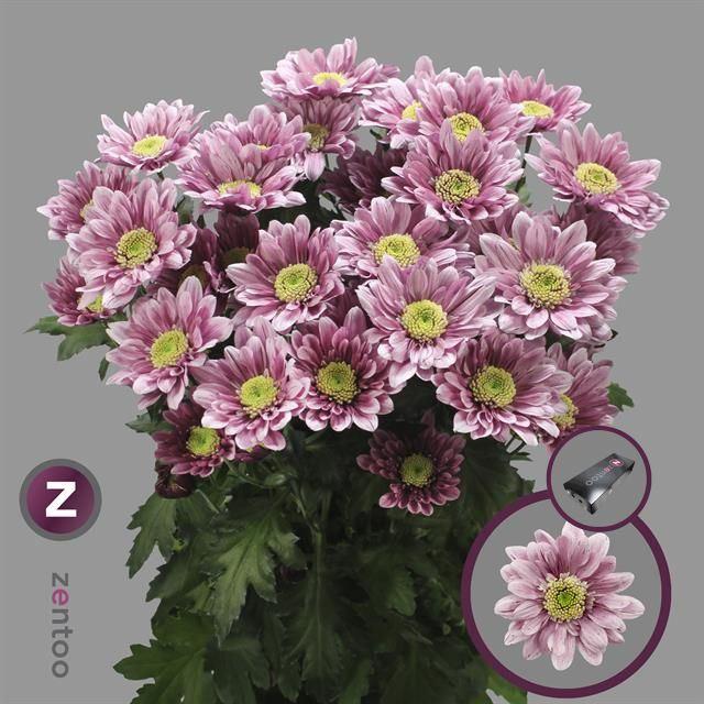 <h4>Chrysanthemum TR 'Serenity Sweet'</h4>