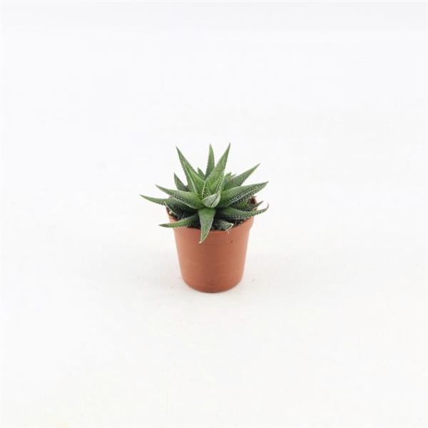 <h4>Haworthia Concolor</h4>