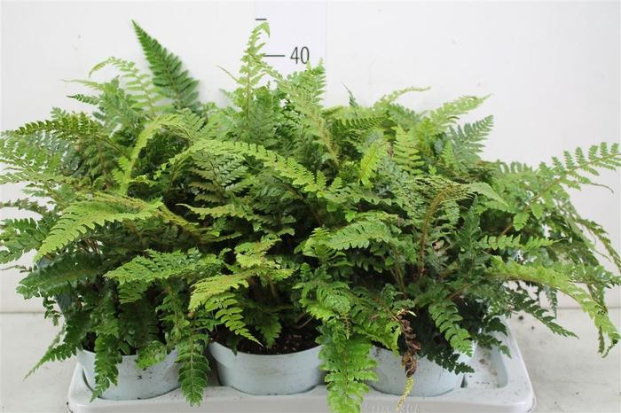 <h4>Polystichum Polyblepharum 'jade'</h4>