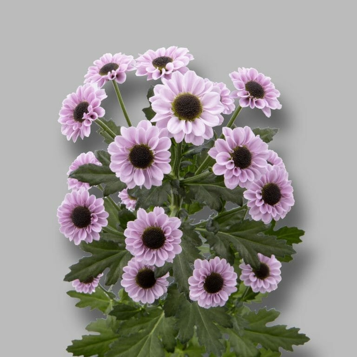 Chrysanthemum spray san Yin Yang Pink