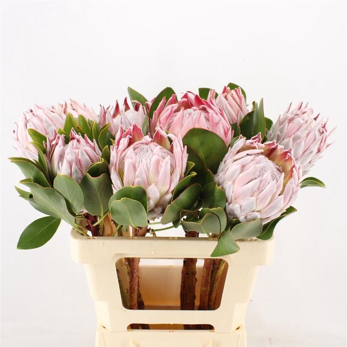 <h4>Protea Cynaroides</h4>