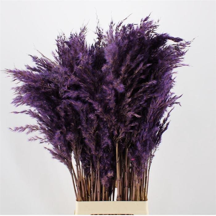 <h4>Pampas Purple</h4>