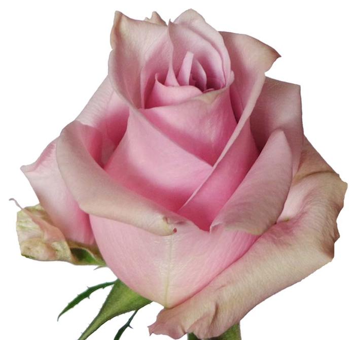 Rosa gr Nautica (Nevado)