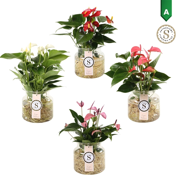 <h4>Anthurium Aqua Roots Sierglas Mix</h4>