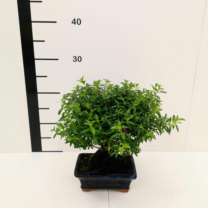 <h4>Bonsai cuphea 6 años</h4>