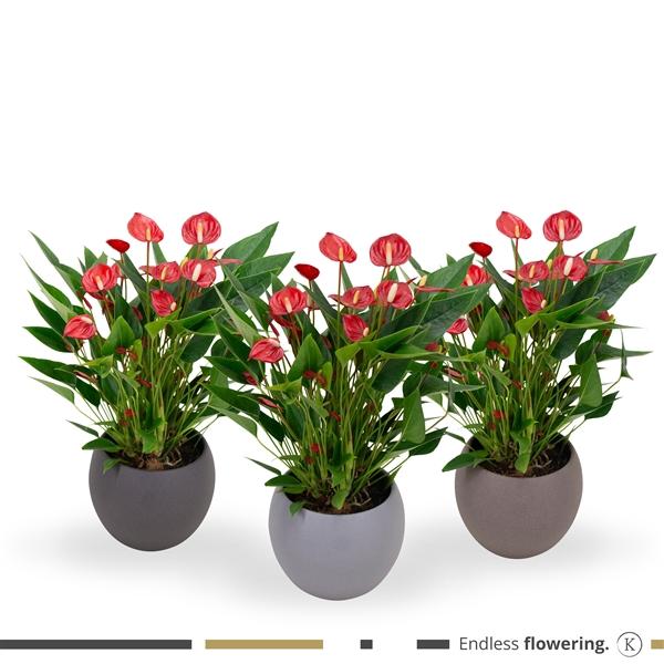 <h4>KARMA - Million Flower Anthurium   Ceramic 'Stone look' 18cm   LSS18MIX-MIL12</h4>