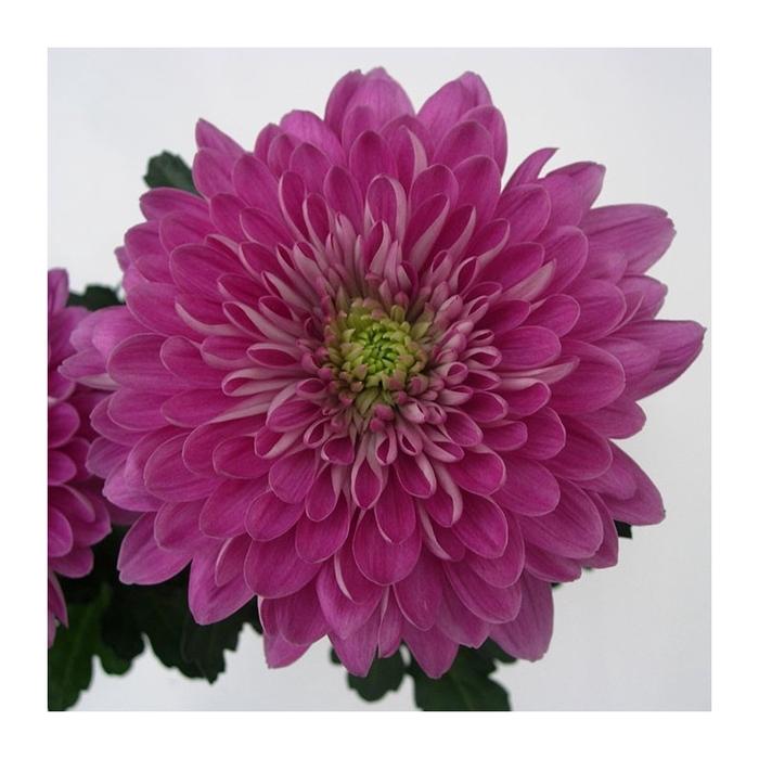 <h4>Chrysanthemum monoflor zembla fucsia</h4>